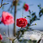Schaumrosen rosa