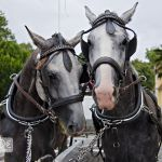 Kuschelnde Pferde vor der Hochzeitskutsche